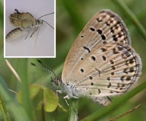 日本福岛蝴蝶发生基因突变成畸形 应为辐射所致